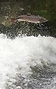 2012_10_18_dove_salmon