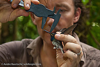 Oxford University ornithologist Dr Joseph Tobias taking data of a male White-necked Jacobin (Florisuga mellivora) in lowland tropical rainforest, Rio Amigos Conservation Concession, Madre de Dios, Peru.