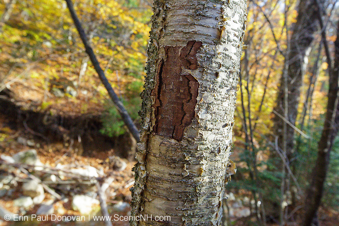 October 2012 - A wound on a yellow birch tree along the Mt Tecumseh Trail in New Hampshire. This wound is the result of mankind not properly removing a painted trail blaze from the tree. The blaze was painted on the tree in 2011, and then improperly removed (by cutting and peeling the bark off) from the tree in the spring of 2012. See what it looked like before it was removed: http://bit.ly/1Q4W1Pj