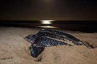 Endangered Leatherback Turtle.nesting at Sandy Point Wildlife  Refuge.St Croix, U.S. Virgin Islands