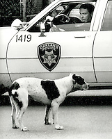 Oakland California Police officer, can't get out of his car due to runaway pit bull who was mauling other dogs and terrorizing the East Oakland neighborhood. Photo/Ron Riesterer