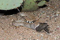 A Western Diamondback Rattlesnake (Crotalus atrox) eating a female Gambel's Quail (Callipepla gambelii), while lying in a trail of Harvester Ants (Pogonomyrmex maricopa)