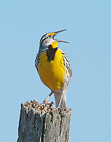 A male Eastern Meadowlark (Sturnella magna) singing from a favorite perch