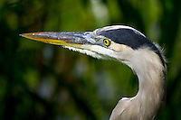 Great blue heron, Morton Lake, Lakeland, Florida