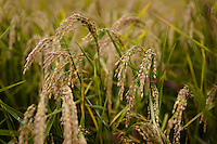 """Iwai rice grown by the Tsukinokatsura sake brewery, Fushimi, Kyoto, Japan, October 10, 2015. Tsukinokatsura Sake Brewery was founded in 1675 and has been run by 14 generations of the Masuda family. Based in the famous sake brewing region of Fushimi, Kyoto, it has a claim to be the first sake brewery ever to produce """"nigori"""" cloudy sake. It also brews and sells the oldest """"koshu"""" matured sake in Japan."""