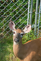 Deer in front of Metal Deterrent fence