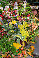 Fall autumn cut flowers arrangement in vase, harvested mixed bouquet, including Tricytis hirta Japanese toad lilies, Coreopsis Full Moon, dried Hydrangea paniculata Pinky Winky. Coleus Solenostemon Pineapple Queen, Sedum Carl, Salvia officinalis La Crema culinary sage herb, Echinacea seed heads, Rudbeckia seedheads, Eupatorium Chocolate, Japanese Painted ferns Athyrium nipponicum, Aster, Begonia, autumn leaves, flowers and foliage, annuals, perennials, shrubs, tree leaves