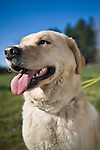 Yellow lab mix.  Owner - Teresa Griffith , Pet Portrait Photography