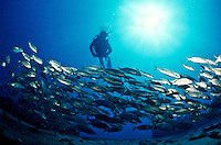 Scuba diver with a school of jacks<br />
