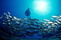 Scuba diver with a school of jacks<br /> Wreck of the General Rogers<br /> U.S. Virgin Islands