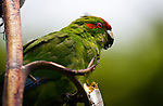 Red crowned Parakeet or kakariki, eating flax, on Tiritiri Matangi island, New Zealand. It's listed as &quot;vulnerable&quot; by the World Conservation Union. They can live everywhere from tropical to subantarctic climates.