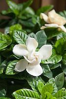 Gardenia jasminoides aka G. veitchii
