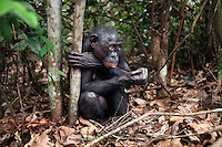 Bonobo female sitting sitting on forest floor (Pan paniscus), Lola Ya Bonobo Sanctuary, Democratic Republic of Congo.