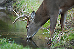 Buck drinking from mountain stream, White-tailed Deer - Odocoileus virginianus, Cades Cove, Great Smoky Mountains National Park, Tennessee / North Carolina