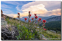 Indian paintbrush,dressed in beautiful red petals, spring from among the rocks above 11,000 feet and above tree line in the Colorado Rockies. In the distance, storm cloud rise up on a late June evening.