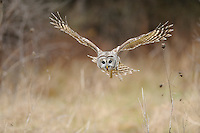 a barred owl in pursuit of a grassland rodent