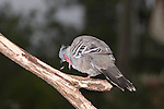 A Crested Pigeon dislodges a feather while preening its head. //  Crested Pigeon - Columbidae: Ocyphaps lophotes. Length to 34cm, wingspan to 50cm, weight to NNg. Also known incorrectly as Topknot Pigeon. Endemic to Australia, Crested Pigeons were once a characteristic bird of arid and semi-arid regions of Australia, but now have moved coast-wards and are common in the suburbs of some of the larger cities. Birds have specially modified primary feathers that cause a whistling sound when taking off. Common.  //Eric Lindgren//