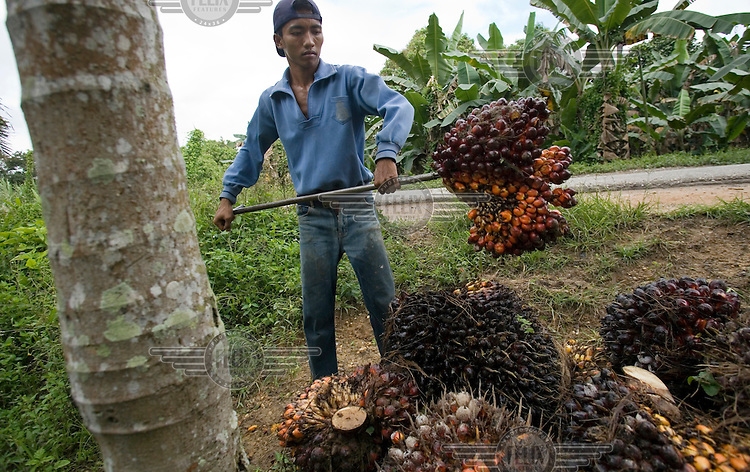 A worker uses a spike to stack bushels of palm oil kernels on the road side, for collection and shipment to a processing plant in Kuala Cenaku.