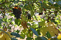 Concord grapes and blackberries grow together outside of Willits in Mendocino County in Northern California.