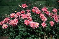Paeonia lactiflora peony flowers, pink herbaceous variety in flower