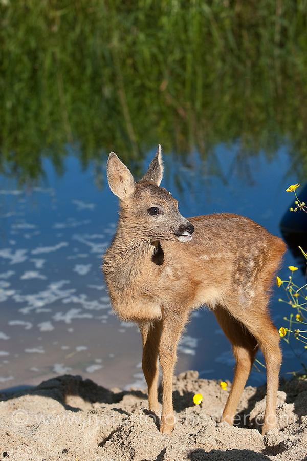 Rehkitz, Reh-Kitz, an einem Gewässerufer, Kitz, Tierkind, Tierbaby, Tierbabies, Europäisches Reh, Ricke, Weibchen, Capreolus capreolus, Roe Deer, Chevreuil