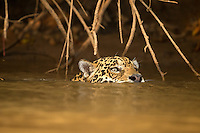 Jaguar (Panthera onca) swimming in river, Pantanal, Brazil.
