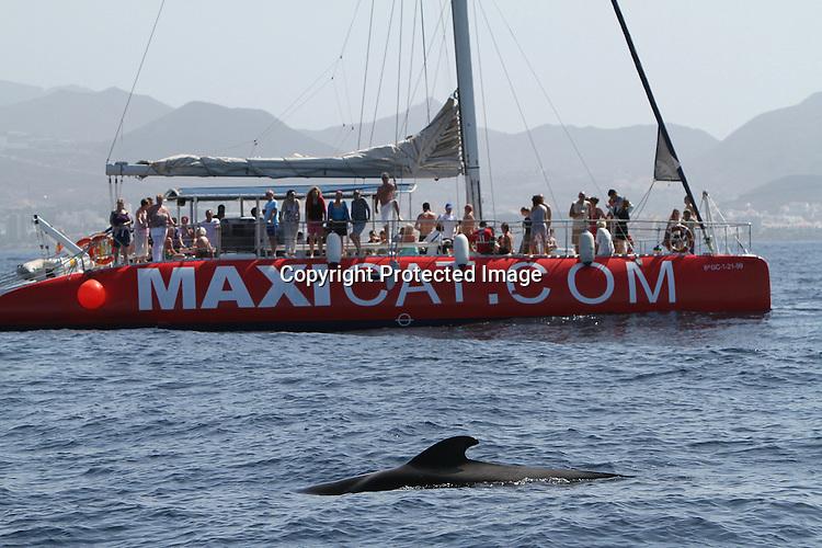 Foto: VidiPhoto..TENERIFE - Met hun stompe neuzen schieten grienden als een torpedo door het water van de Atlantische Oceaan voor de kust van Tenerife. Tenerife is een hotspot voor toeristen en natuurliefhebbers als het gaat om te genieten van dolfijnen en walvissen in de vrije natuur..