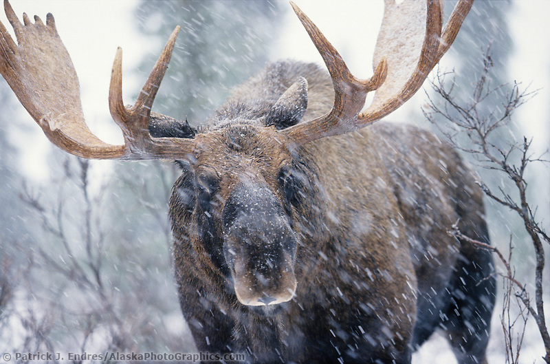 Moose photos: Professional stock photography and pictures of ...