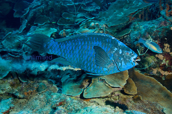 The Blue Parrotfish (Scarus coeruleus) can reach four feet in length. Parrotfish eat coral and expel sand, as this individual is demonstrating. Bonaire, Caribbean.