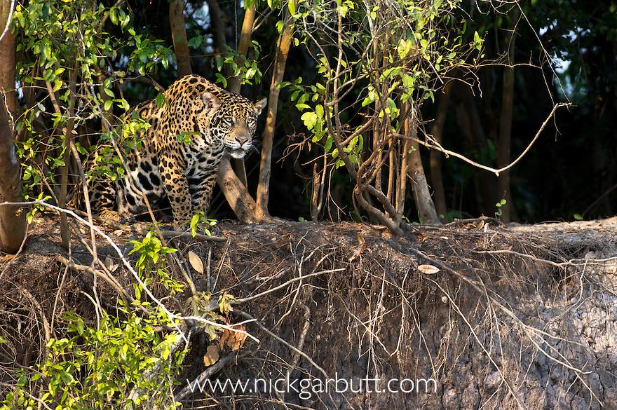 Wild female Jaguar (Panthera onca palustris) overlooking the Piquiri River, a tributary of Cuiaba River, Northern Pantanal, Brazil.