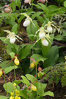 Cypripedium orchids in garden use with Athyrium nipponicum var. pictum, Cypripedium ventricosum 'Album', Podophyllum. Cypripedium Gisela, hardy orchids