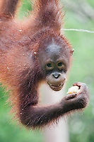 Young Bornean Orangutan, Pongo pygmaeus morio, hangs while eating fruit and urinating Orang Utan Sanctuary Sepilok, Sabah, Borneo