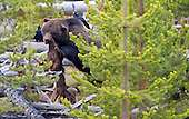 Grizzly Bear (Ursus arctos horribilis) feeding on a carcass of Elk (Cervus canadensis) prior to hibernation in the fall. Common Ravens are waiting their turn. Northern Rocky Mountains, USA.