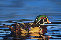 520557059 a wild male wood duck aix sponsa swims in a pond in bosque del apache national wildlife refuge in new mexico united states