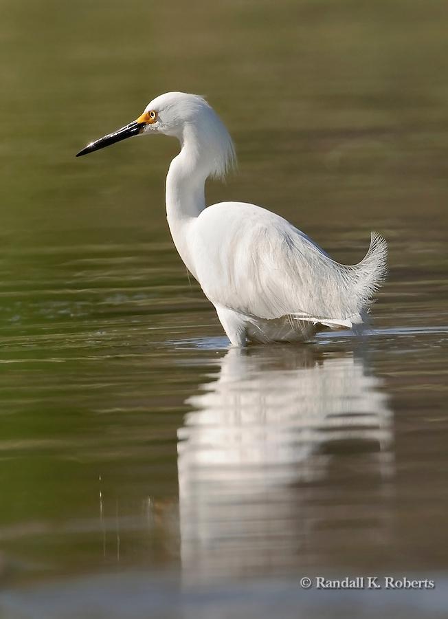 A snowy egret (Egretta thula) looks for breakfast in a pond in Adams County, Colorado