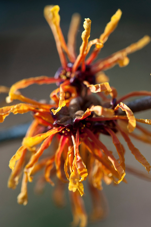 Witch hazel (Hamamelis x intermedia 'Aphrodite'), end January.