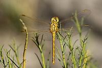 362740002 a wild female saffron-winged meadowhawk sympetrum costiferum perches on a plant stem along the owens river benton crossing road mono county california