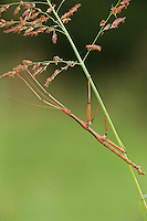 397000004 a wild male giant walking stick megaphasma dentricus perhces on a plant setm in hornsby bend travis county texas