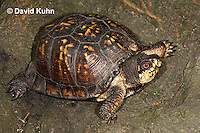 1002-0808  Male Eastern Box Turtle, Terrapene carolina © David Kuhn/Dwight Kuhn Photography.