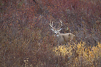 Whitetail buck in Montana during the autumn rut