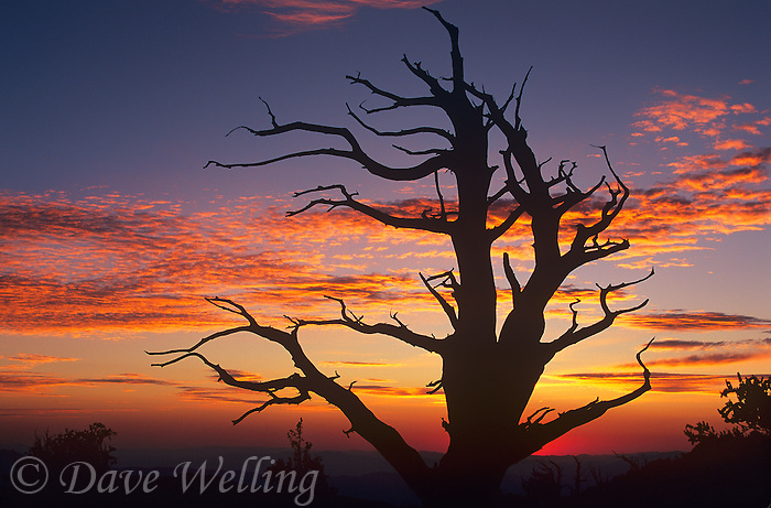 730252095 an ancient bristlecone pine pinus longeava is silhouetted against the night sky during sunset in the bristlecone protected lands of the white mountains in kern county california