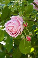Portrait of a 'Mme Caroline Testout' (Rosa) at the Ca' delle Rose garden