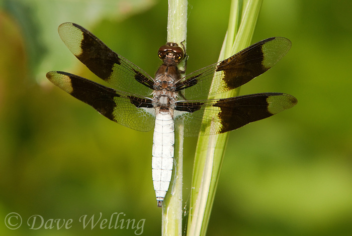 398200007 a wild male common whitetail dragonfly plathemis lydia at hornsby bend travis county texas