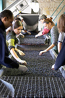 Hand selecting the bad grapes at a sorting table. Merlot. Chateau Kirwan, Margaux, Medoc, Bordeaux, France