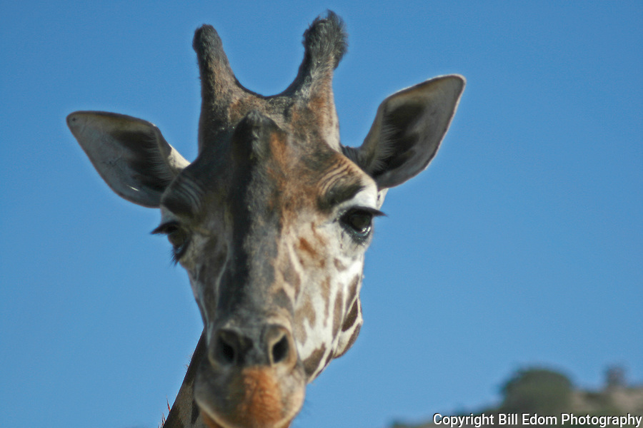 A portrait of a Giraffe.