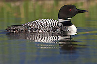 Common Loon swimming on a lake in morning light