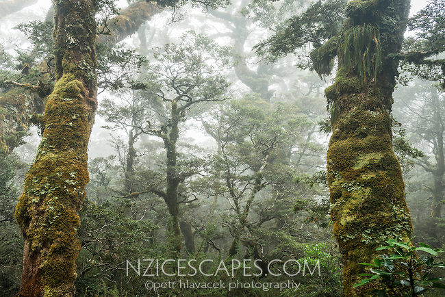 Moss cloaked beech trees on Routeburn Track, Fiordland National Park, Southland, South Island, World Heritage Area, New Zealand