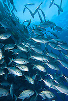 Sipadan, Sabah, Borneo, Malaysia, October 2010. A shool of Jackfish next to the wall of Sipadan. 36 kilometers from mainland Semporna lies the Island of Sipadan, one of the worlds most beautiful divesites. Since the island resorts were closed due to environtmetal issues, the resorts of Kapalai and Mabul have been the main basis for diving sipadan. Photo by Frits Meyst/Adventure4ever.com