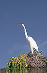 Great Egret on the banks of a lake standing beneath a bright blue sky.