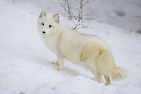 Arctic fox standing on a snow covered hill - CA